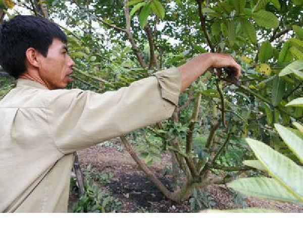 CS-Tại sao phải tạo tán và đốn tỉa cành cây ăn quả, kỹ thuật thực hiện như thế nào?
