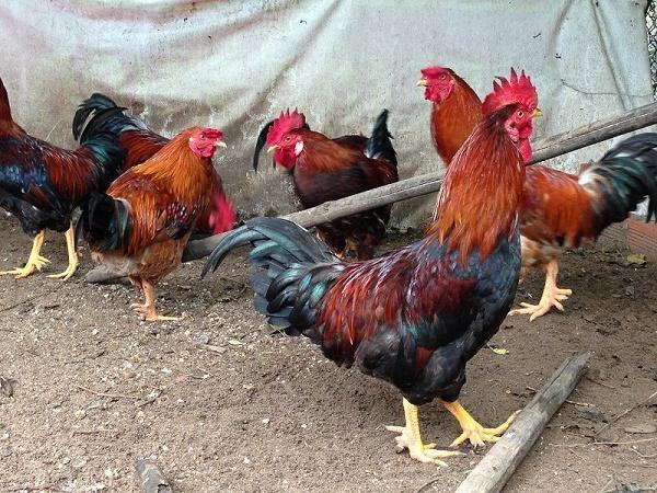 N-Trong chăn nuôi gà khi nào cần phải sử dụng vitamin C?