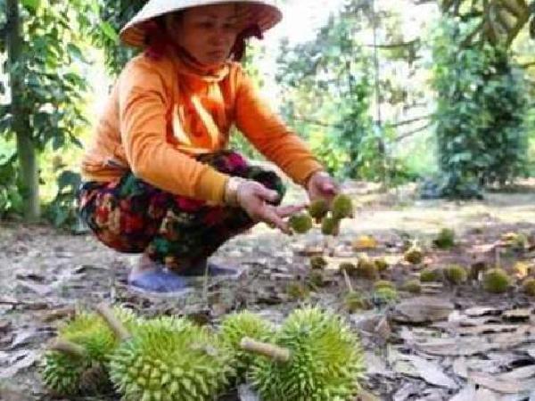 CS-Biện pháp chống rụng trái non trên cây sầu riêng hiệu quả nhất