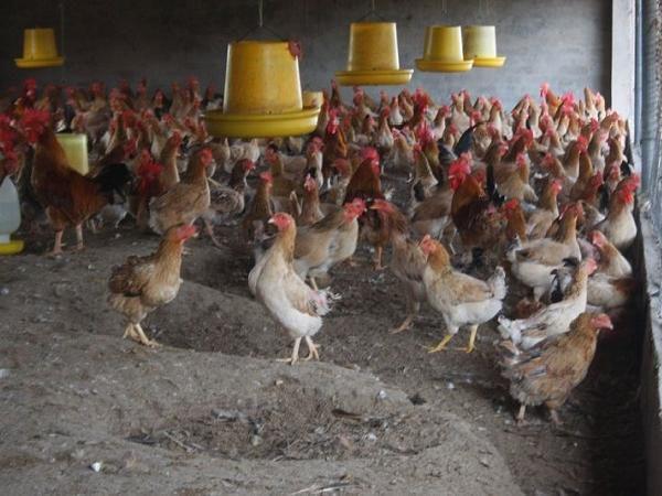 Chẩn đoán bệnh của gà qua phân, đơn giản, dễ nhớ
