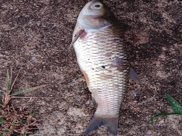 CB-Một số bệnh thường gặp trên cá trắm cỏ và biện pháp phòng trị