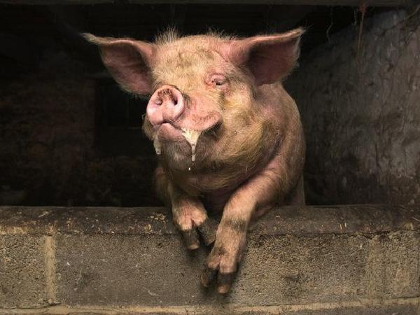 """Chết cười lợn """"say rượu"""" ngủ một ngày chưa tỉnh"""