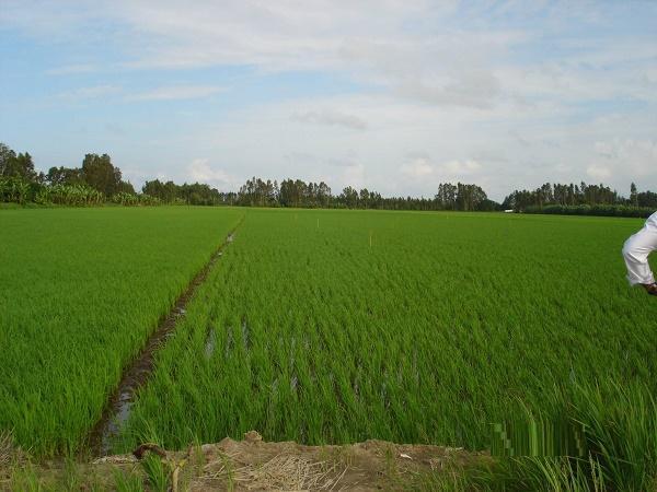 Nhiều khó khăn trong sản xuất lúa vụ Đông Xuân 2019 -2020