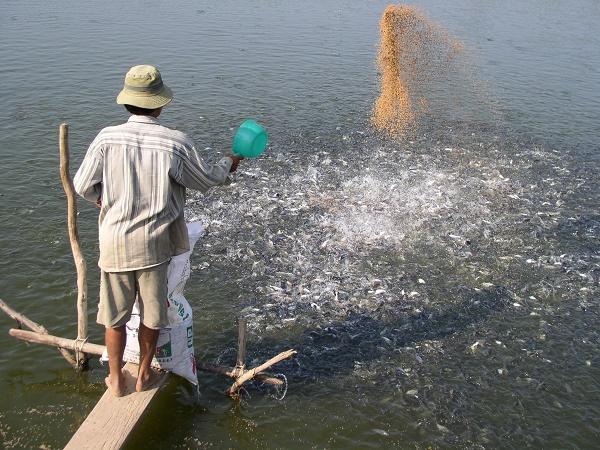NT-Những lưu ý khi ương giống cá tra, basa