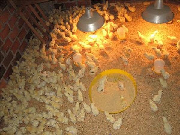 Úm gà vào mùa đông, làm sao để đạt hiệu quả tốt?