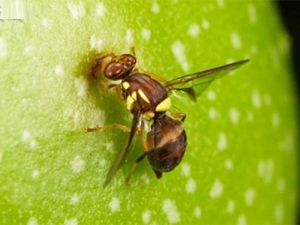 Đại dịch ruồi vàng tấn công, năng suất cây trồng giảm còn 30%
