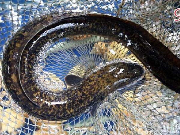 NT-Đặc điểm sinh học và kỹ thuật ương nuôi cá chình thành công