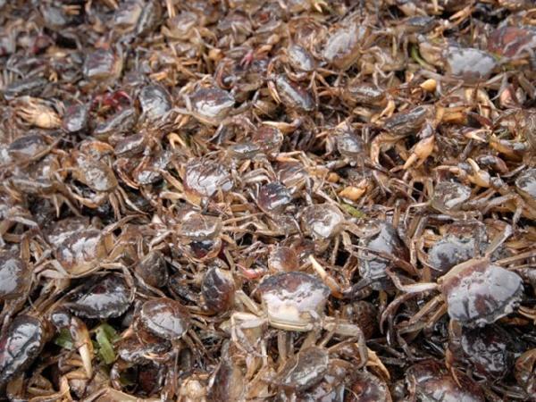 NT-Mô hình cá chạch đồng ghép cua đồng, ít vốn đầu tư, dễ nuôi