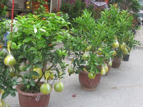 SB-Kinh nghiệm phòng sâu bệnh trên bưởi bonsai chuẩn bị cho Tết Nguyên Đán