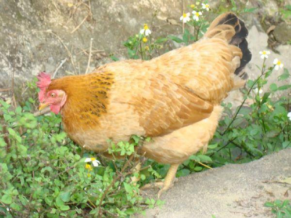 CB-Bệnh Gumboro ở gà (Infectious Bursal Disease)