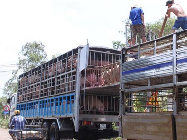 """Nghiêm cấm xuất khẩu lợn sang Trung Quốc, tránh """"lợi ngắn, hại dài"""""""