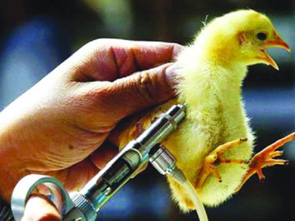 N-Chăm sóc vật nuôi thời điểm giao mùa rất quan trọng