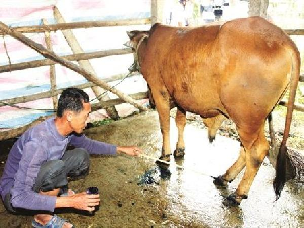 Cảnh giác với bệnh lở mồm long móng trên gia súc thời điểm giao mùa