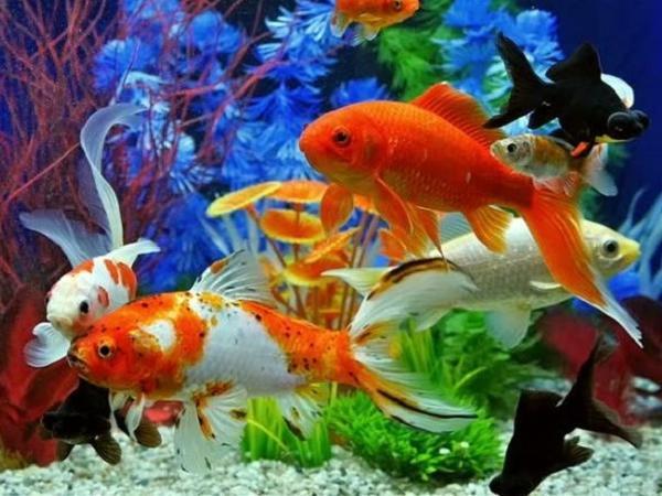 CB-Các bệnh thường gặp trên cá cảnh