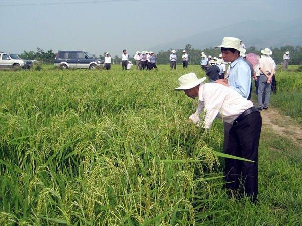 Chỉ cần 3 hạt thần thánh cho 1 ha đất, năng suất lúa đã tăng gấp 3 lần
