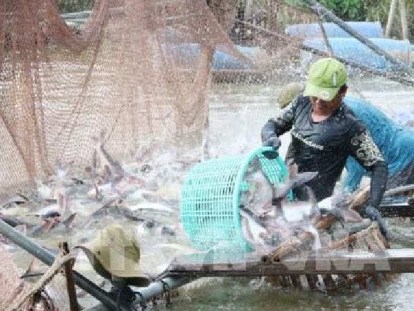Ấn Độ gia tăng sản lượng cá tra, Việt Nam chịu sức ép cạnh tranh lớn