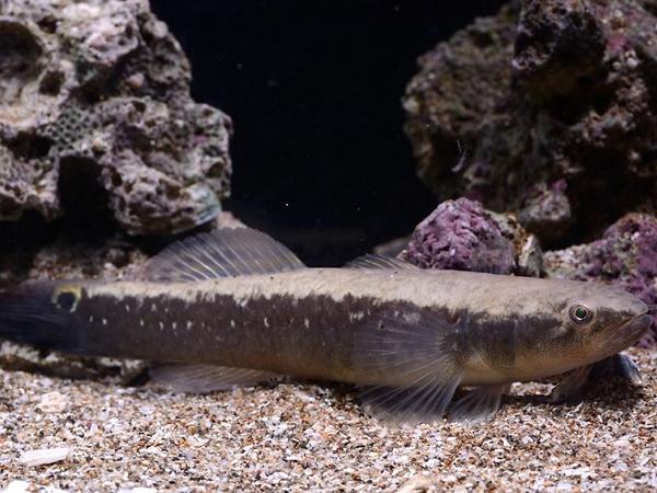 NT-Sinh sản nhân tạo đặc sản cá bống bớp hiệu quả