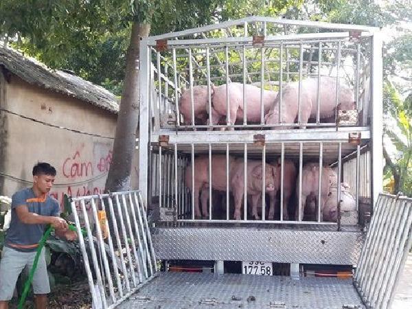Giá lợn tăng kỉ lục, ai sẽ là người hưởng lợi?