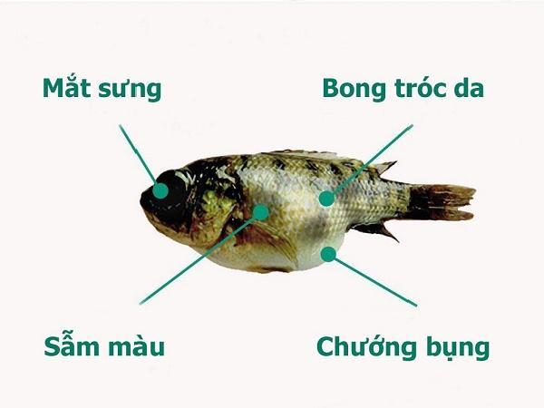 NT-Cẩn trọng với virus TiLV - một virus loại mới trên cá rô phi