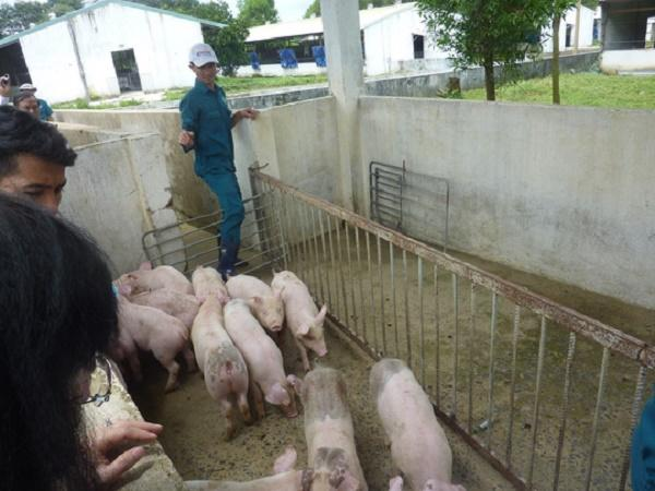Trung Quốc sang Việt Nam gom tất cả các loại giống lợn, mối đe dọa của tương lai