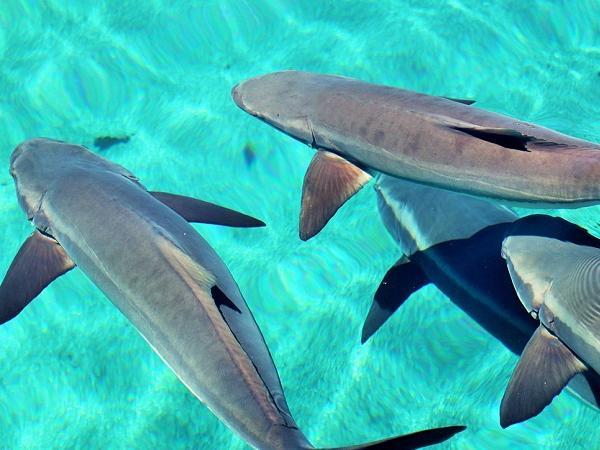 NT-Kích thích sinh sản nhân tạo cá bớp hiệu quả