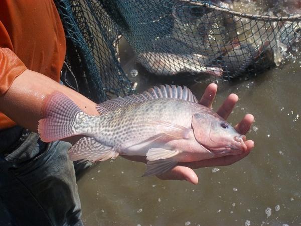 NT-Phát hiện thêm nhiều chủng virus gây bệnh trên cá rô phi