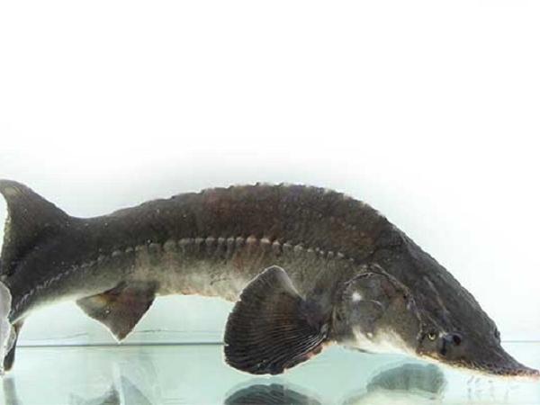 NT-Kỹ thuật nuôi cá tầm trong lồng bè trên hồ chứa