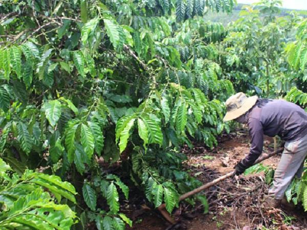 CS-Những điều cần chú ý khi chăm sóc cà phê  mùa khô niên vụ 2019 - 2020
