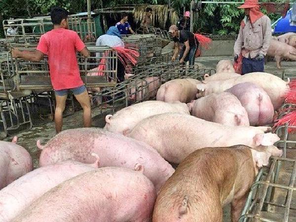 Bộ Công Thương: Việt Nam chưa kí kết xuất nhập khẩu thịt lợn với Thái Lan, Campuchia