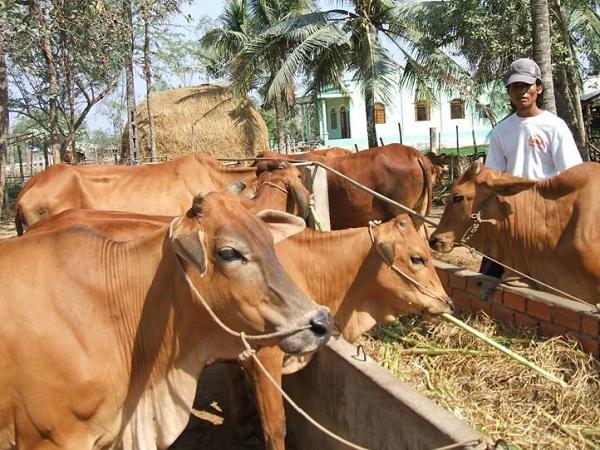 Chưa hết dịch trên lợn lại tới dịch trên trâu, bò. Tổng đàn gia súc giảm mạnh