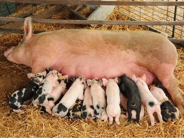 N-Kỹ thuật chăm sóc lợn đẻ