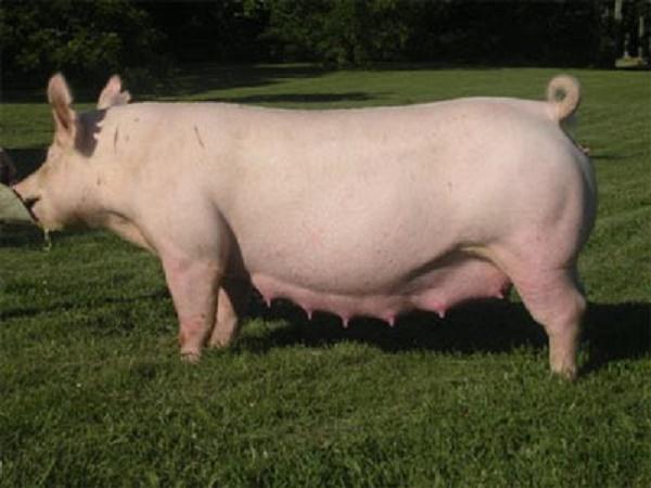 N-Kỹ thuật lai giống trong chăn nuôi lợn