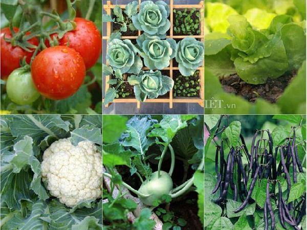 CS-Các giống rau thích hợp trồng vụ đông cho hiệu quả kinh tế cao