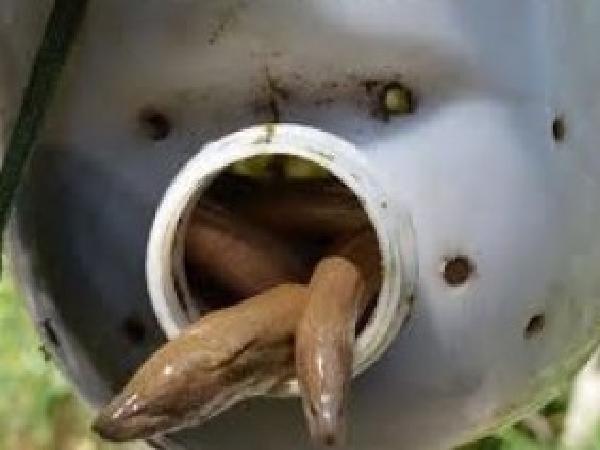 NT-Kỹ thuật nuôi lươn đồng kiểu mới: Nuôi lươn trong can nhựa