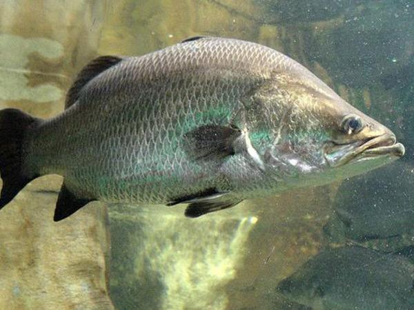NT-Kỹ thuật nuôi cá chẽm trong lồng