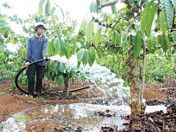 CS-Cách giảm tưới nước cà phê mùa khô