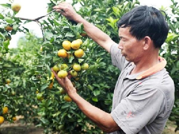 CS-Áp dụng tiến bộ kỹ thuật trong canh tác cây ăn quả có múi