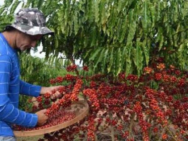 Vương quốc cà phê Brazil nhắm đến Đông Nam Á, cạnh tranh với Việt Nam