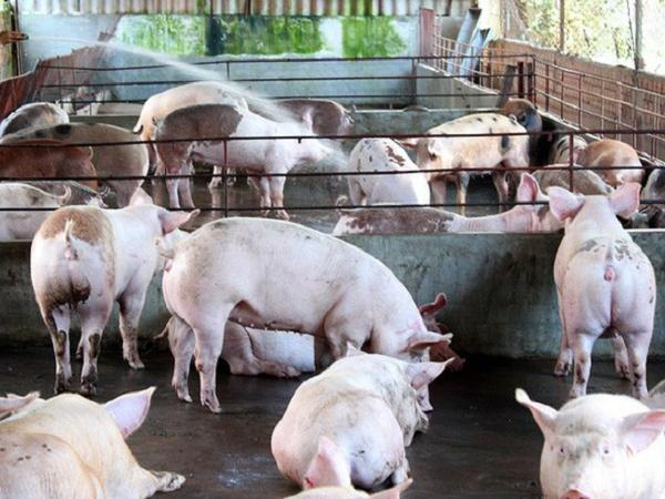 Bộ Nông nghiệp yêu cầu các doanh nghiệp chăn nuôi tái đàn lợn