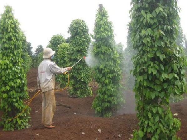 CS-Chăm sóc hồ tiêu mùa khô đúng cách