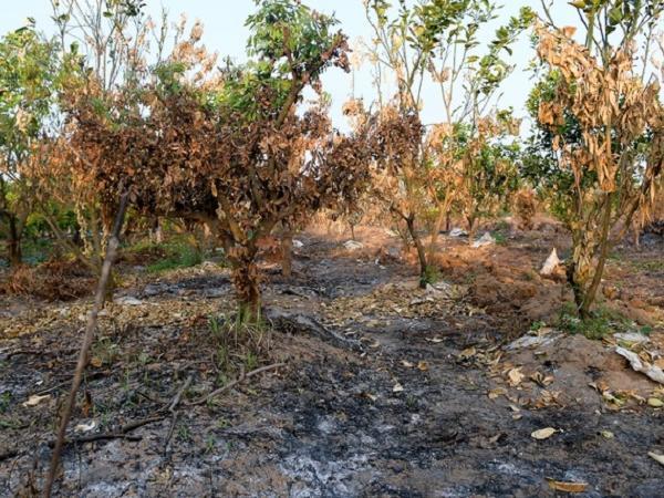 """Kẻ gian đốt cháy hàng trăm cây ăn quả, nông dân """"đau xót"""" vì mất trắng"""