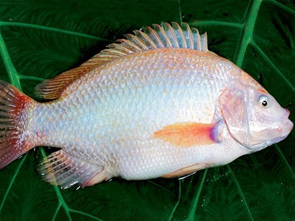 CB-Một số bệnh thường gặp ở cá diêu hồng