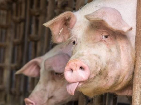 Năm 2020, Việt Nam hợp tác với Mỹ sản xuất vacxin dịch tả lợn châu Phi