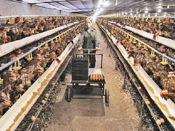 Gỡ khó để ứng dụng công nghệ cao trong chăn nuôi
