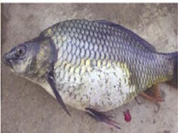Cá chép mắc bệnh bã đậu - sự thật nguồn lây nhiễm ít ai biết