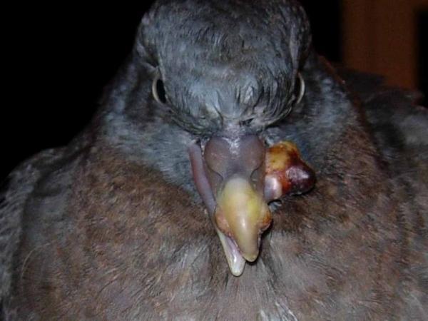CB-Bệnh loét miệng, bạch hầu ở chim bồ câu