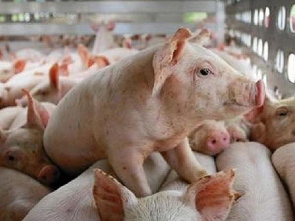 Thêm 50 doanh nghiệp nước ngoài muốn xuất khẩu thịt lợn sang Việt Nam