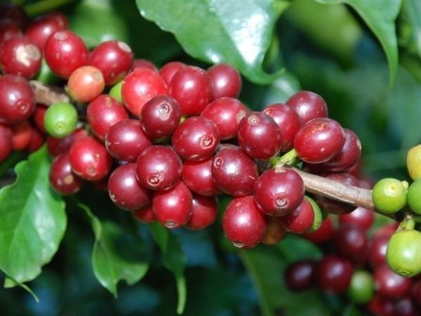 Ngành cà phê gặp khó khăn, vẫn kỳ vọng xuất khẩu đạt 6 tỷ USD vào năm 2030?