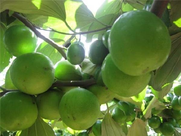 CS-Bí quyết trồng táo sữa Thái Lan sai quả và lâu cỗi