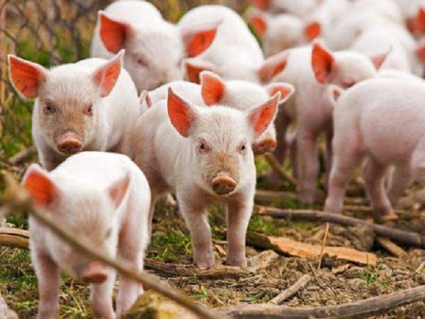 N-Quản lý đàn lợn để chăn nuôi đạt hiệu quả cao